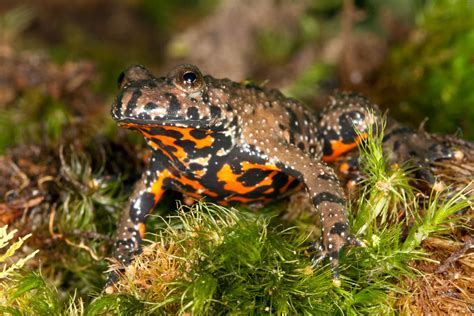 Photos of Fire-bellied toads