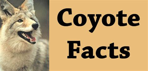 facts about coyotes for kids coyote bendir bloguez com
