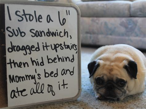 guilty pug guilty pugs