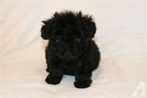 black maltipoo puppies totally adorable black maltipoo puppies for sale in lakeside california classified