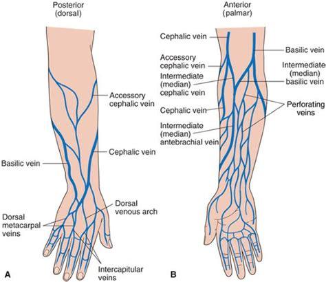 diagram of a vein forearm veins diagram wiring diagram schemes