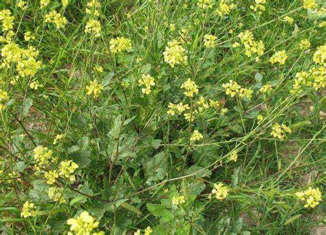fiore giallo nomi fiore giallo foto dei fiori e delle piante da