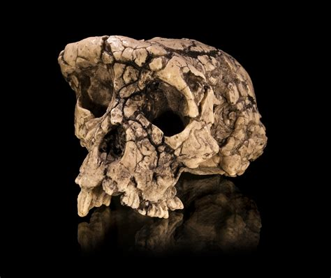 ape mind mind new mind emotional fossils and the evolution of the human spirit books btnrc brain shape confirms controversial fossil as