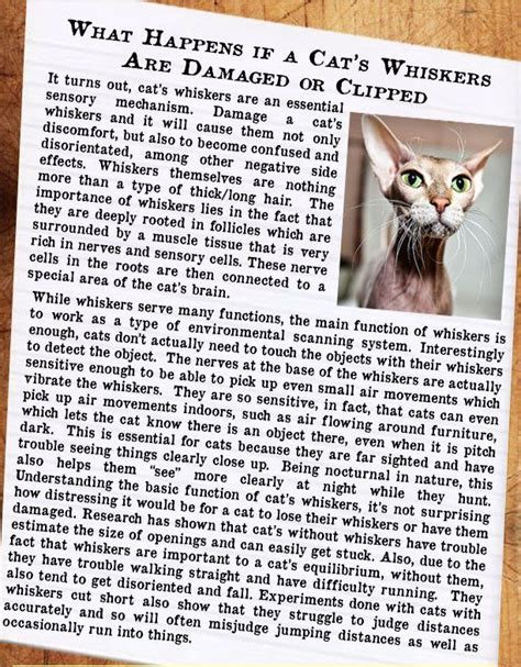 what happens if you cut a s whiskers 27 best infographics strange cat facts images on cat facts cats