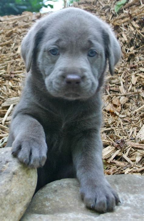 gray lab puppies best 25 silver labs ideas on silver labrador silver lab puppies and grey