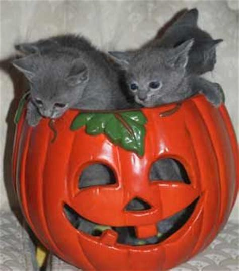 free puppies in ri hypoallergenic russian blue kittens for sale for sale adoption from east providence