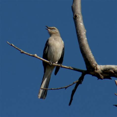 78 best images about mockingbirds and doves on pinterest