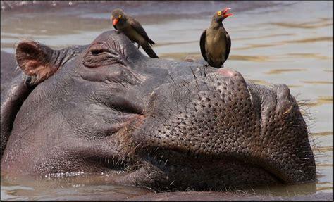 si鑒e social hippopotamus the oxpecker and the hippopotamus a fable about