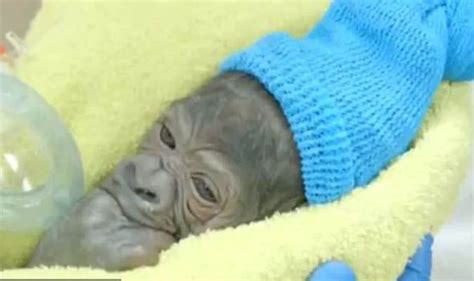 animal c section baby gorilla born at san diego zoo after animal c section