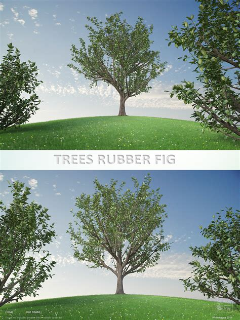 rubber fig trees rubber fig 3d models whitemagus