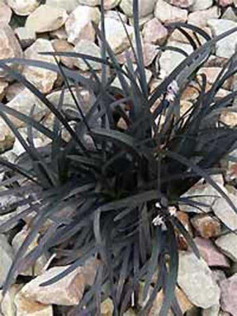 schlangenbart gras ophiopogon planiscapus nigrescens schwarzer
