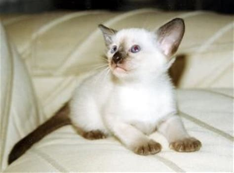 8 Reasons To Get A Siamese Cat by The World S Catalog Of Ideas