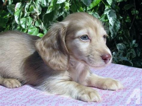 mini longhaired dachshund puppies for sale adorable akc haired mini dachshund puppies 8 weeks for sale in loxahatchee