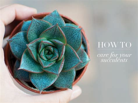 how to care for your succulents a pair a spare