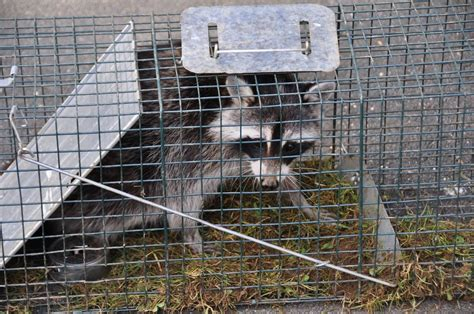 how to catch a raccoon in my backyard what is the best bait for raccoons in a live trap