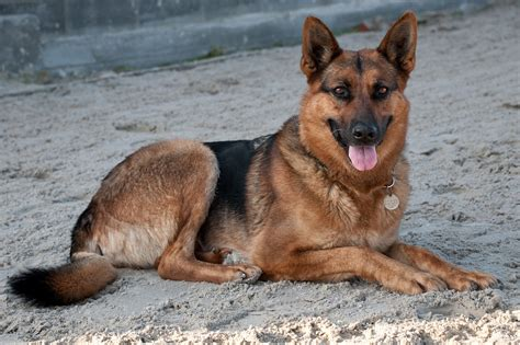 types of german shepherds different types of german shepherds