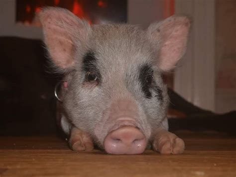 micro pigs for sale uk micro pig for sale sheffield south yorkshire pets4homes