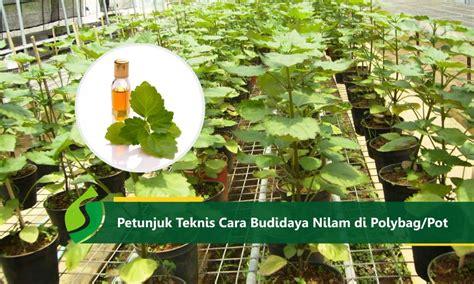 Bibit Tanaman Hidup Nilam Patchouli Bibit Parfum petunjuk teknis cara budidaya nilam di polybag atau pot