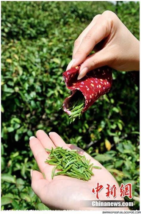Teh Pucuk Ukuran Besar tradisi aneh disini wanita pemetik dauh teh harus