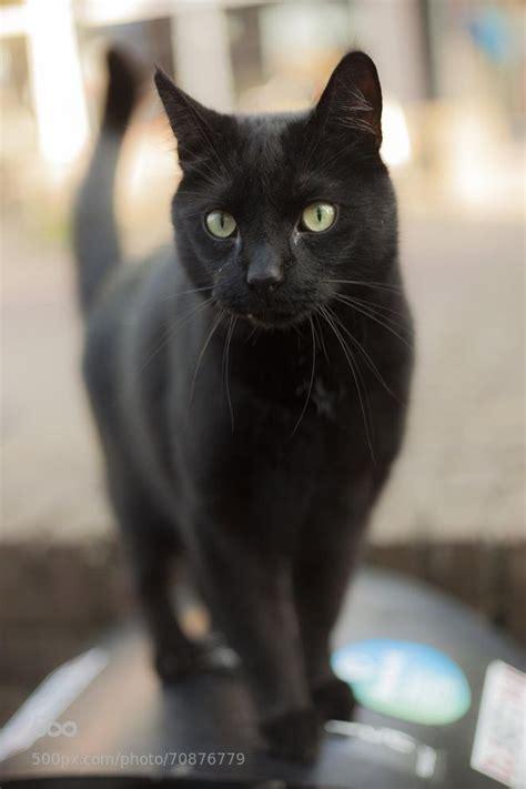 black cat images  pinterest black cats