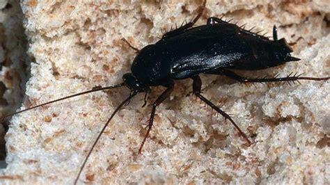 schaben in der wohnung kakerlaken bek 228 mpfen tipps gegen schaben in haus und wohnung
