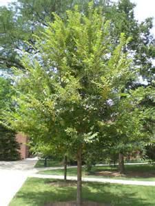 tree photos ulmus carpinifolia morton glossy