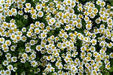 flowers photo tiny white flowers in bloom light flowers meadow flowers background white petal