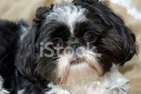 shih tzu festival black and white shih tzu portrait with stock photos freeimages