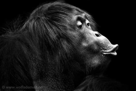 black and white animals pucker up dramatic black and white animal photography by