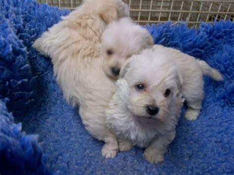 westiepoo puppies the gallery for gt westiepoo puppies