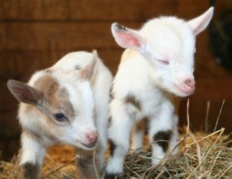 25 best ideas about baby goats on pinterest goats