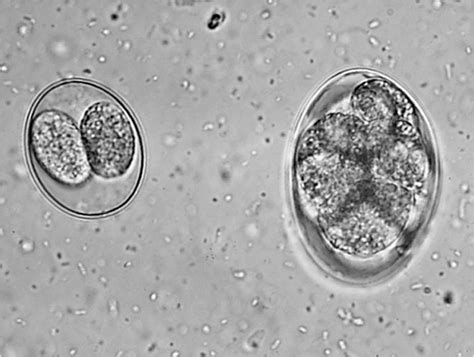 coccidia dogs isospora and eimeria in dogs pictures to pin on pinsdaddy