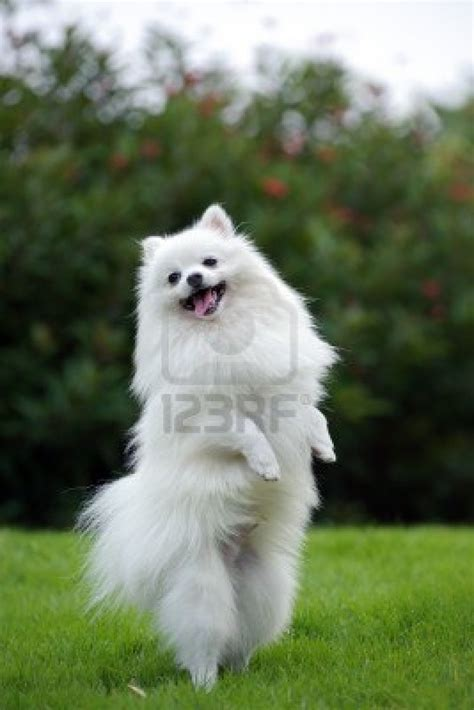 pomeranian puppies white dogs pomeranian