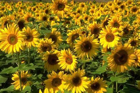 fiore di girasole piante e fiori girasole