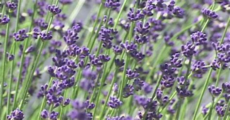 video how to use lavender to repel fleas ehow uk