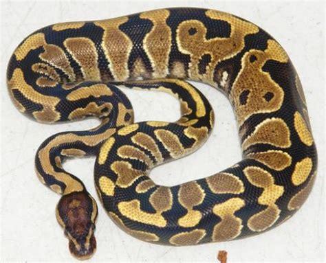ball python heat l other pythons
