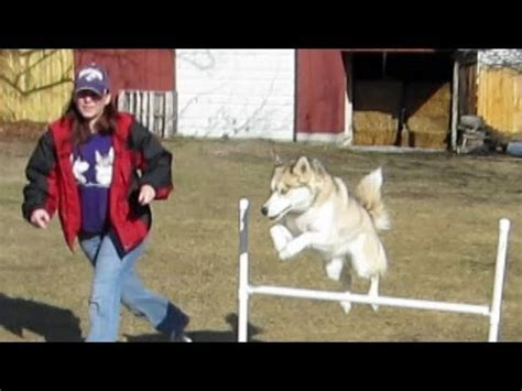 how to agility your how to make a pet agility course funnydog tv