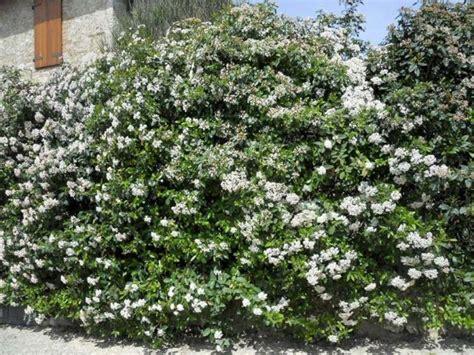 cespugli sempreverdi con fiori siepi profumate siepi caratteristiche delle siepi