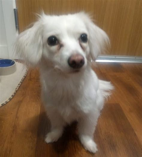 adoption seattle rehomed white longhair dachshund mix 2 seattle