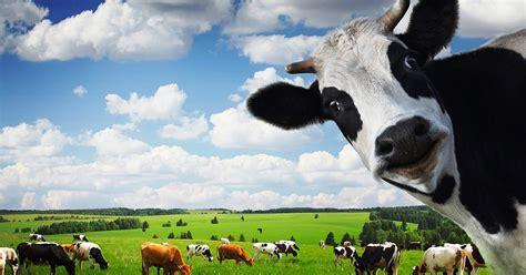Bibit Sapi Perah panduan cara budidaya ternak sapi perah terlengkap www