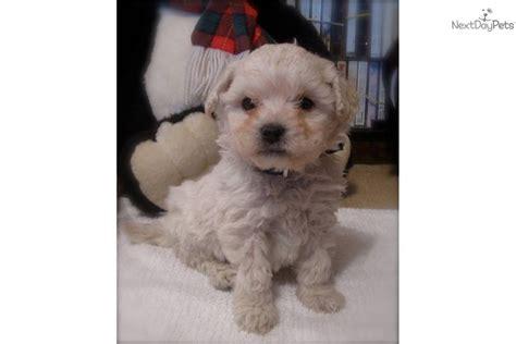 goldendoodle puppy for sale columbus ohio goldendoodle puppy for sale near columbus ohio 5ae7cb07