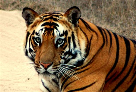 tigers images elegant tiger hd wallpaper and background photos 35204061