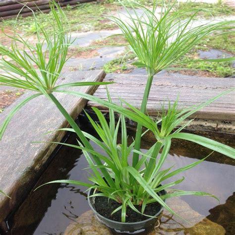 4 in papyrus tut potted bog marginal pond
