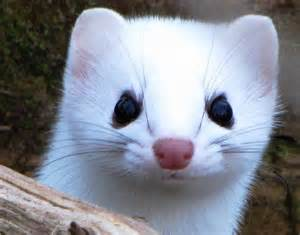 ermine color weasel attacks ermine winter color phase