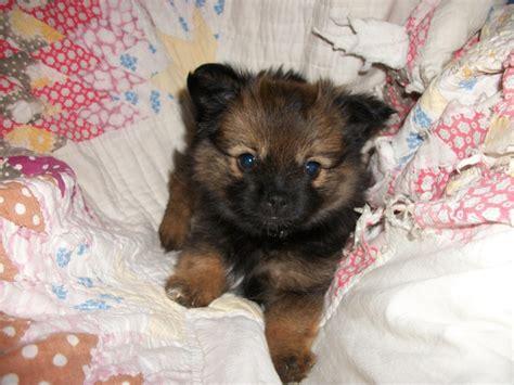 shipom puppies shi pom puppy things i want
