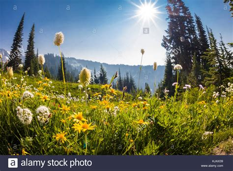 summer section wildflowers in mount rainier national stock photos