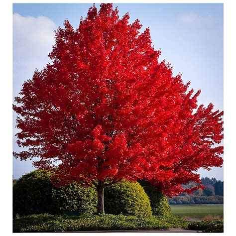 red maple tree potted plant growers solution
