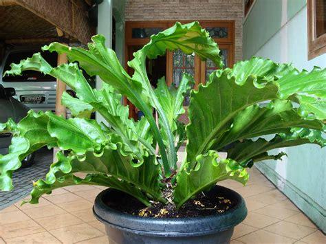 tanaman pembawa hoki percaya balebengong