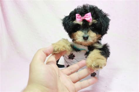 yorkie poo los angeles lovely yorkie poo puppy in l a found a new loving home with from thousand
