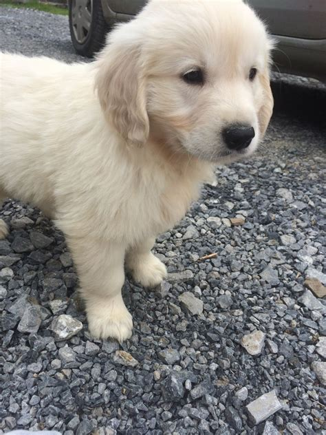 Golden Retriever Puppies For Sale Llandeilo Carmarthenshire Pets4homes